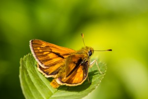 Large Skipper at Linford Wood