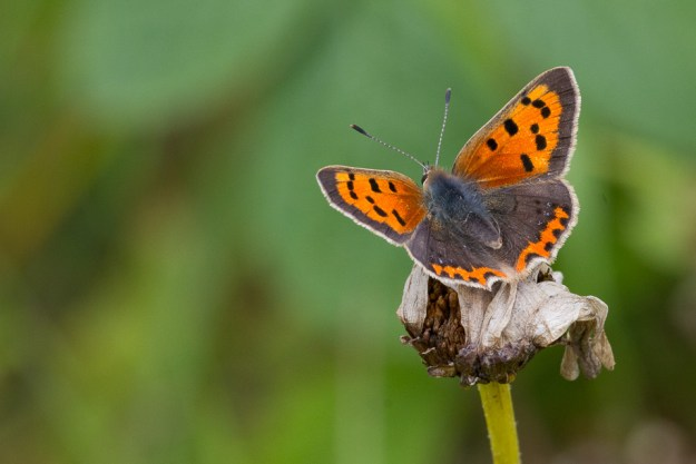 Small Copper butterfly at Small Copper at Llanymynech Rocks Nature Reserve, Shropshire
