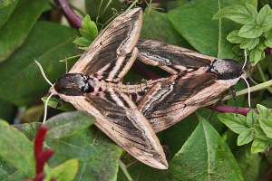 Privet Hawk-moths (Sphinx ligustri)