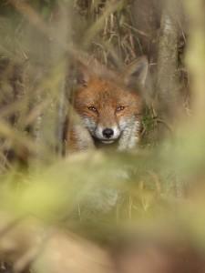 Fox, Howe Park Wood by Harry Appleyard 11Feb16