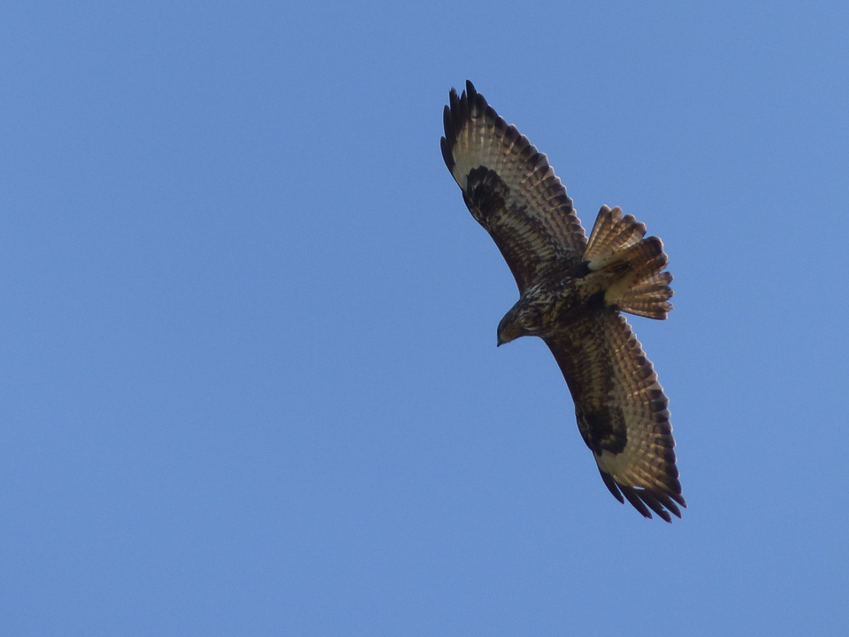 Common Buzzard over Howe Park Wood by Harry Appleyard, 11 March 2016