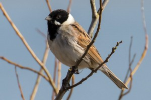 Reed Bunting by Peter Garner, Floodplain Forest NR, 25 March 2016