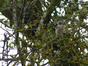 Common Whitethroat by Harry Appleyard, Tattenhoe Park, 15 April 2016