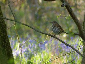 Song Thrush by Harry Appleyard, Howe Park Wood 30 April 2016