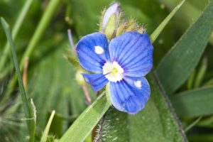 Gerrymander Speedwell by Peter Hassett, Pilch Field, 8 May 2011