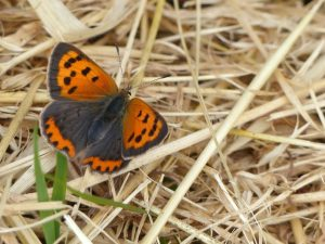 Small Copper, Tattenhoe Park (23rd July) Lycaena phlaeas