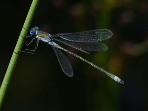 Mature Male Emerald Damselfly, Tattenhoe Park (7th August)-1