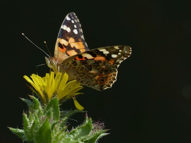 Painted Lady, Tattenhoe Park (9th August)
