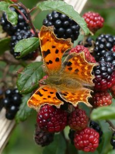 Comma by Harry Appleyard, Howe Park Wood 20th Sept ember 2016