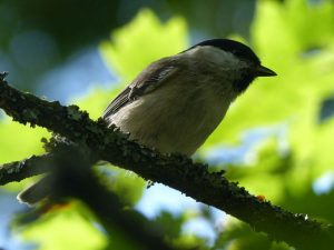Marsh Tit, Howe Park Wood (1st September 2016)