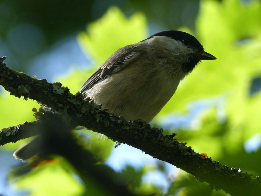 Marsh Tit by Harry Appleyard, Howe Park Wood 1 September 2016