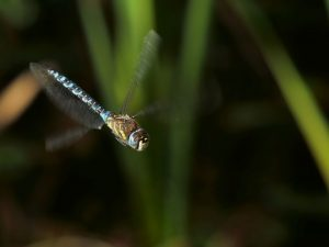 Male Migrant Hawker Tattenhoe Park Harry Appleyard 9th Oct 2016