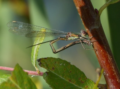 Female Willow Emerald ovipositing by Harry Appleyard, Tattenhoe Valley Park 4 October 2016