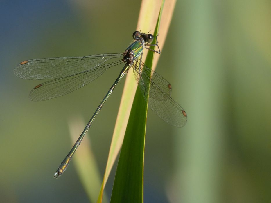 Male Willow Emerald Damselfly Tattenhoe Park Harry Appleyard 1st October