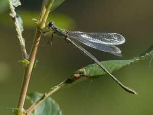 Male Willow Emerald Damselfly Tattenhoe Park Harry Appleyard 2n October