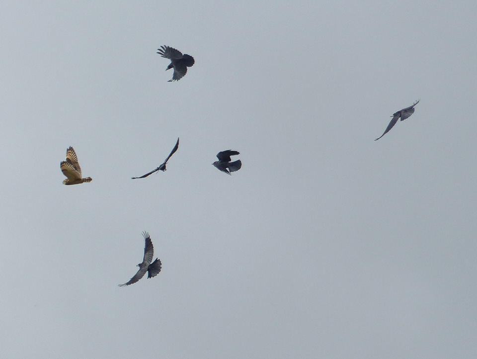 Rooks mobbing Short-eared Owl by Harry Appleyard, Tattenhoe 19 October 2016