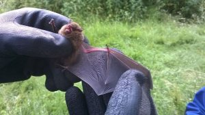 Pipistrelle Bat Linford Lakes NR 17th October 2016 Martin Kincaid