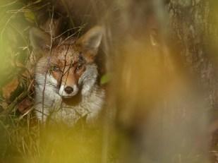 Fox by Harry Appleyard, Howe Park Wood 11 November 2016