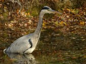 Grey Heron by Harry Appleyard, Howe Park Wood 7 November 2016
