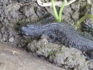 Great-crested newt ©David Christopher, Old Wolverton Allotments 2 July 2017