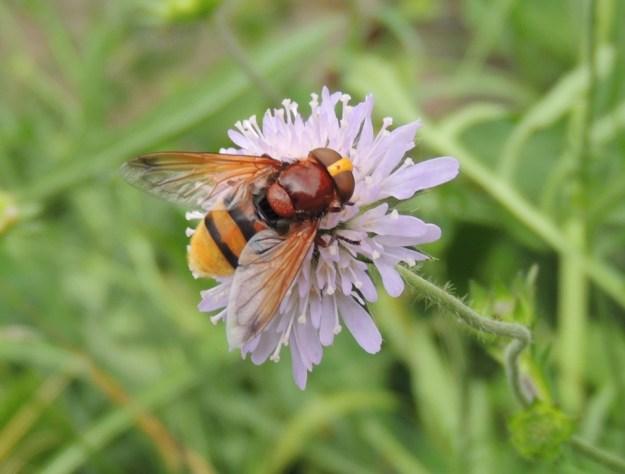 Volucella zonaria Hoverfly ©Julie Lane. Johnson's Field, Olney. 25 July 2017