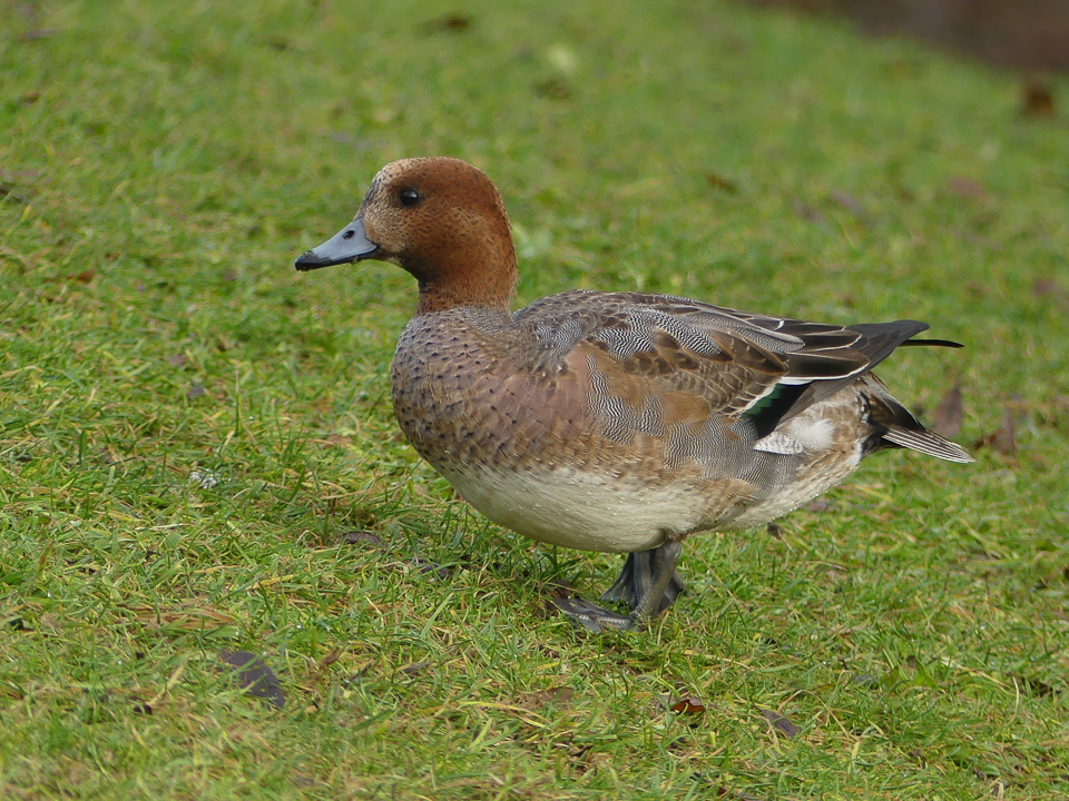 Wigeon by Harry Appleyard, Emerson Valley 8 January 2017