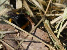 Bumblebee by Harry Appleyard, Howe Park Wood 7 February 2017