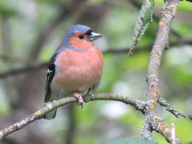 Chaffinch by Tony Wood. Linford Lakes NR. 8 June 2016