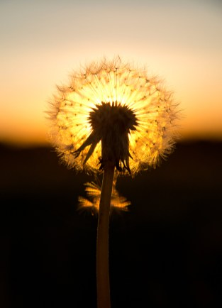 Dandelion seedhead in the sun by Paul Lund, taken near Bradwell windmill. 3 October 2016