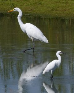 Great White Egret and Little Egret