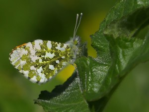 Male Orange Tip Butterfly by Harry Appleyard, Howe Park Wood 3 April 2017