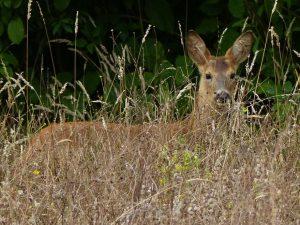 Roe Buck, Tattenhoe