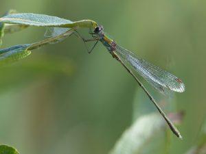 Willow Emerald Damselfly, Tattenhoe