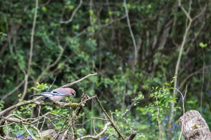 Jay by Peter Hassett, Linford Wood 2May 2017