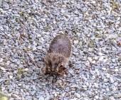Nesting Hedgehog by Susie Lane, Skelton, Cumbria 20 May 2017