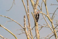 Greater Spotted Woodpecker by Peter Hassett, College Lakes 18 June 2017