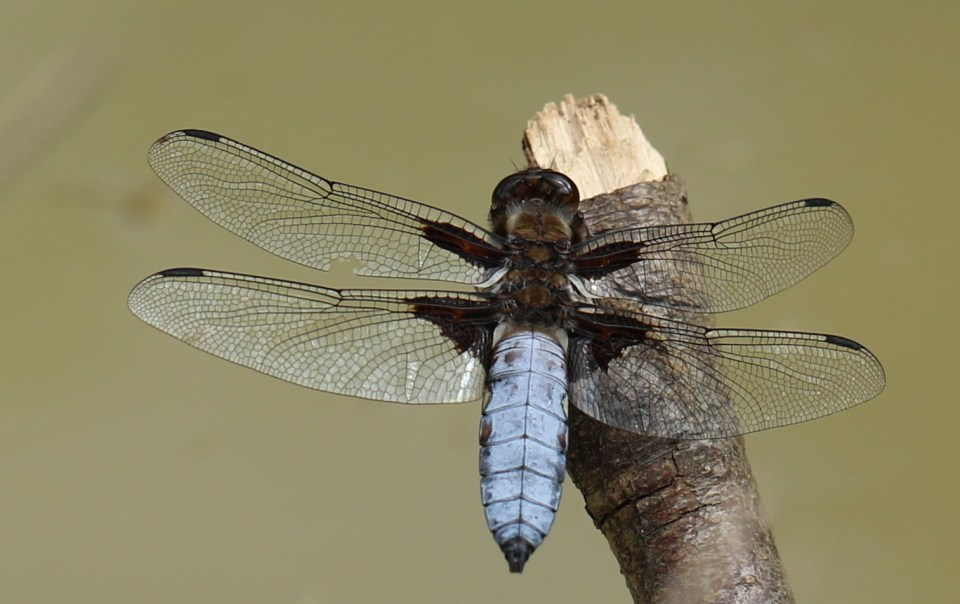 Broad-Bodied-Chaser by Julian Lambley Bernwood Forest 24June 2017