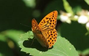Silver-washed-Fritillary by Julian Lambley Bernwood Butterfly trail 24June 2017