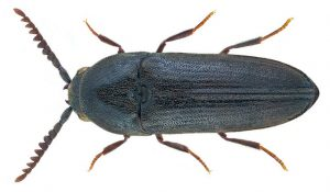 False Click Beetle Eucnemis capucina by Udo Schmidt