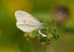 Wood White egg laying ©Paul Lund, Bucknell Wood, 8 July 2017