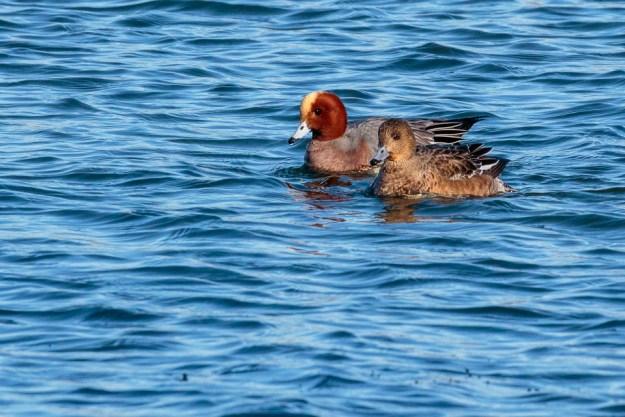 Wigeon ©Peter Hassett, Foxcote Reservoir 19 January 2018