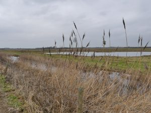 Reed bed and drainage channel ©Harry Appleyard