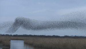 Starling Murmuration ©Harry Appleyard
