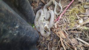 Grass snake © Ella Cooke, Walton Lake 11 March 2018