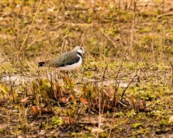 Lapwing © Roy Gray, Floodplain Forest NR 17 March 2018