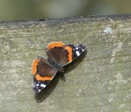 Red Admiral: ©Janice Robertson Linford Lakes NR 16 March 2018