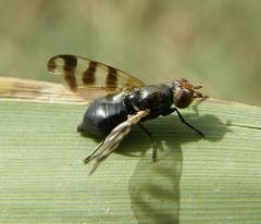 Ceroxys urticae female