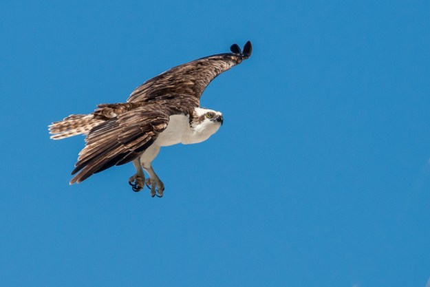 Osprey ©Peter Hassett Everglades, florida 26 February 2011