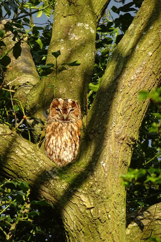 Tawny Owl ©Julie Lane, Clun 5 May 2018