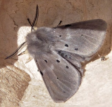 Muslin Moth (male) © Ian Saunders, Stoke Goldington 17 May 2018Muslin Moth (male) © Ian Saunders, Stoke Goldington 17 May 2018